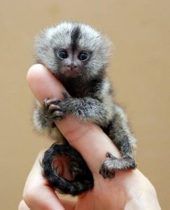 smalllest monkey in the world